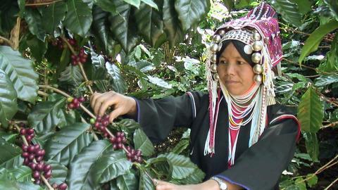 Akha Woman Harvests Coffee Footage