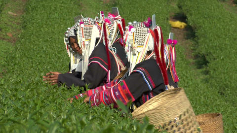 Akha Women Picking Tea Footage