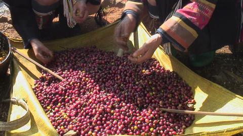 Coffee Harvest Footage