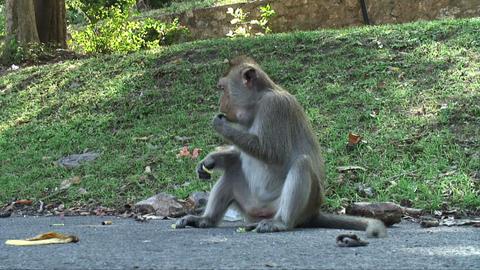 Monkey Eating Footage