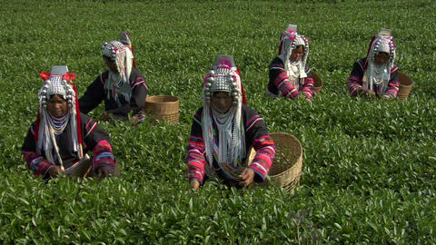 Tea Plantation stock footage