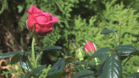 Pink roses Footage