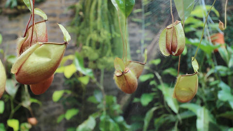 working in the pitcher plants farm Footage
