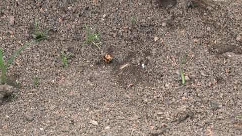Ants and a ladybird ビデオ