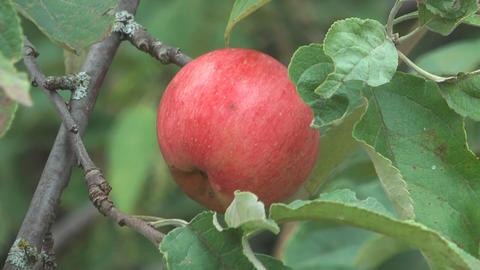 Apple-tree Live Action