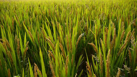 Asian golden rice paddy,wait for the harvest Animation