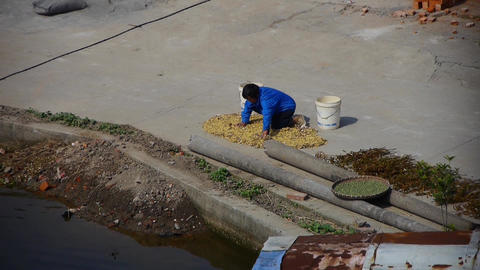 chinese countrywoman grain drying under sun Animation