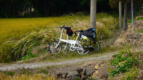 white bicycle in field,golden rice paddy & long dry grass swing in wind Animation