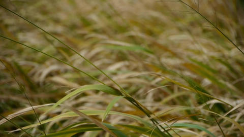 long dry grass swing in wind,shaking wilderness Animation