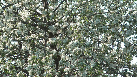 Blossoming apple-tree Footage