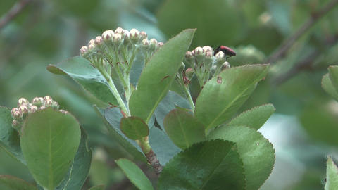 Blossoming aronia Footage