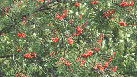 Red ashberry Footage
