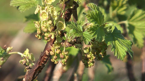 Currant bush Live Action