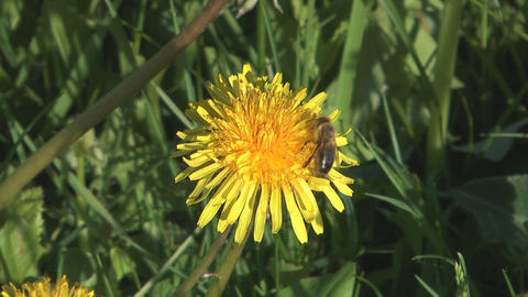 Bee on dandelion Footage