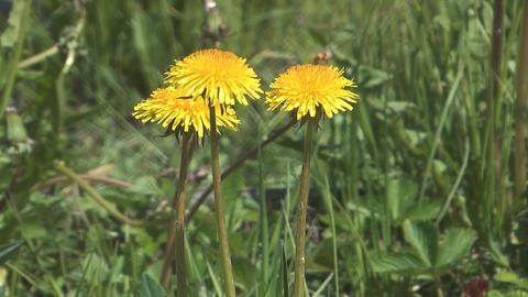Dandelions Footage