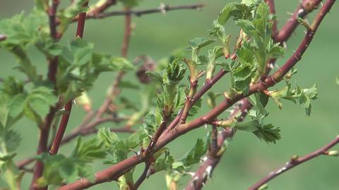 Dog-rose leaves Footage