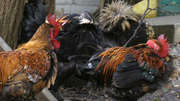 Chickens And Rooster Altogether On Farm stock footage