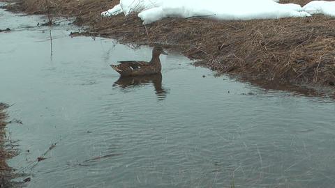 Wild Duck Footage