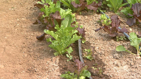 Organic Farming Irrigation Lettuce 1 stock footage