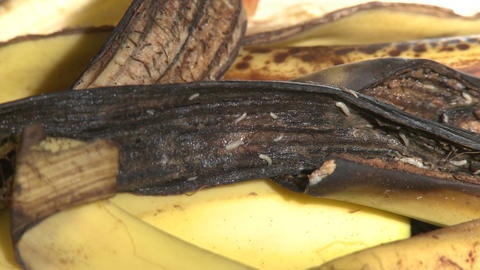 Maggots Crawling On Banana Peel stock footage