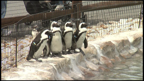 Penguines at Zoo 1 Footage