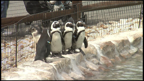 Penguines at Zoo 1 Stock Video Footage