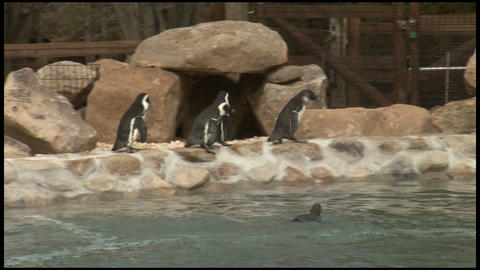 Penguins at Zoo 3 Footage