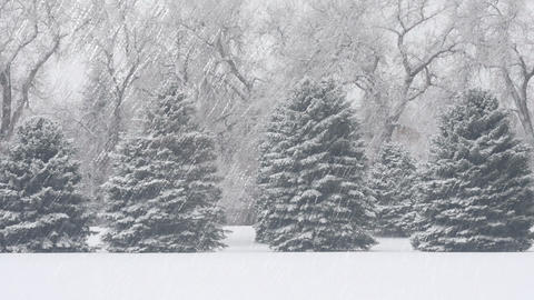 Evergreen Trees in Snow Footage