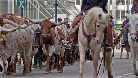Longhorns Lead the National Western Stock Show Par Footage