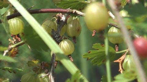 Bunch Of Gooseberries stock footage