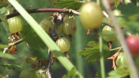 Bunch of gooseberries Footage