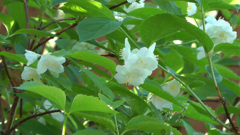 Blossoming jasmine Footage