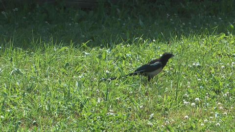 Magpie Footage