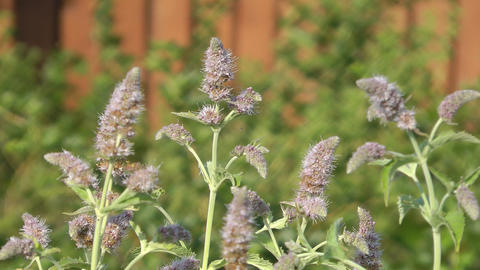 Mint Flowers stock footage