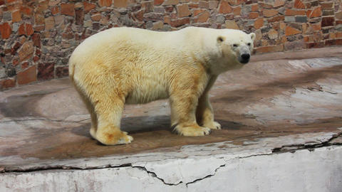 polar bear standing Live Action