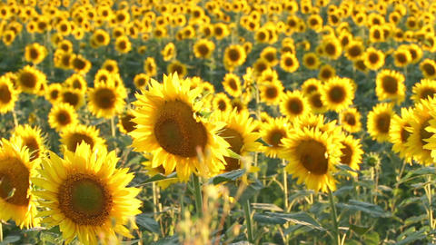 Pan of a Sunflower Field Footage