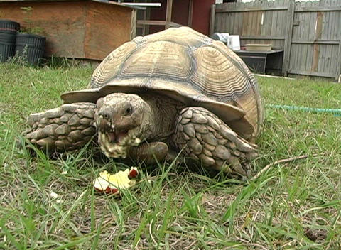 African Spurred Tortise (2) Stock Video Footage