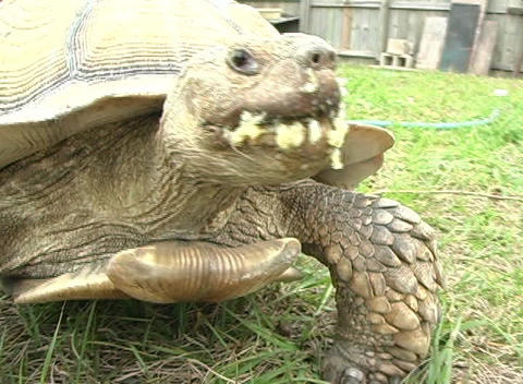 African Spurred Tortise (2) Footage