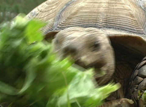 African Spurred Tortise (4) Stock Video Footage