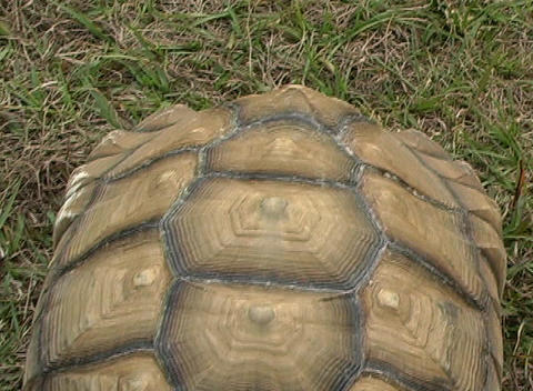 African Spurred Tortise (6) Stock Video Footage