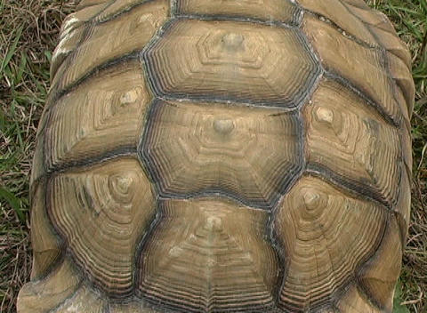 African Spurred Tortise (6), Live Action