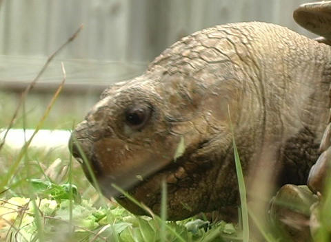 African Spurred Tortise (8) Stock Video Footage