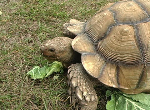 African Spurred Tortise (10) Stock Video Footage