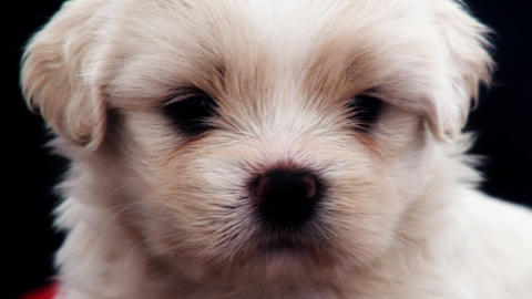 Single White Puppy Stock Video Footage