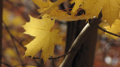Autumn leafs 7 Stock Video Footage