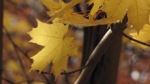 Autumn leafs 7 Stock Video Footage