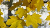 Autumn Leafs 14 stock footage