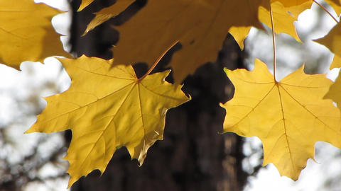 Autumn leafs 24 Stock Video Footage
