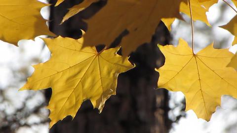 Autumn leafs 24 Stock Video Footage