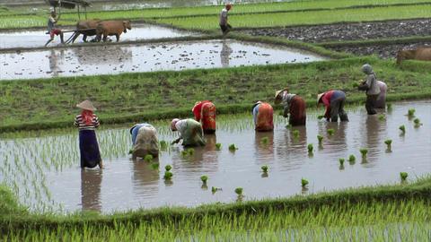 Bali rice field Footage